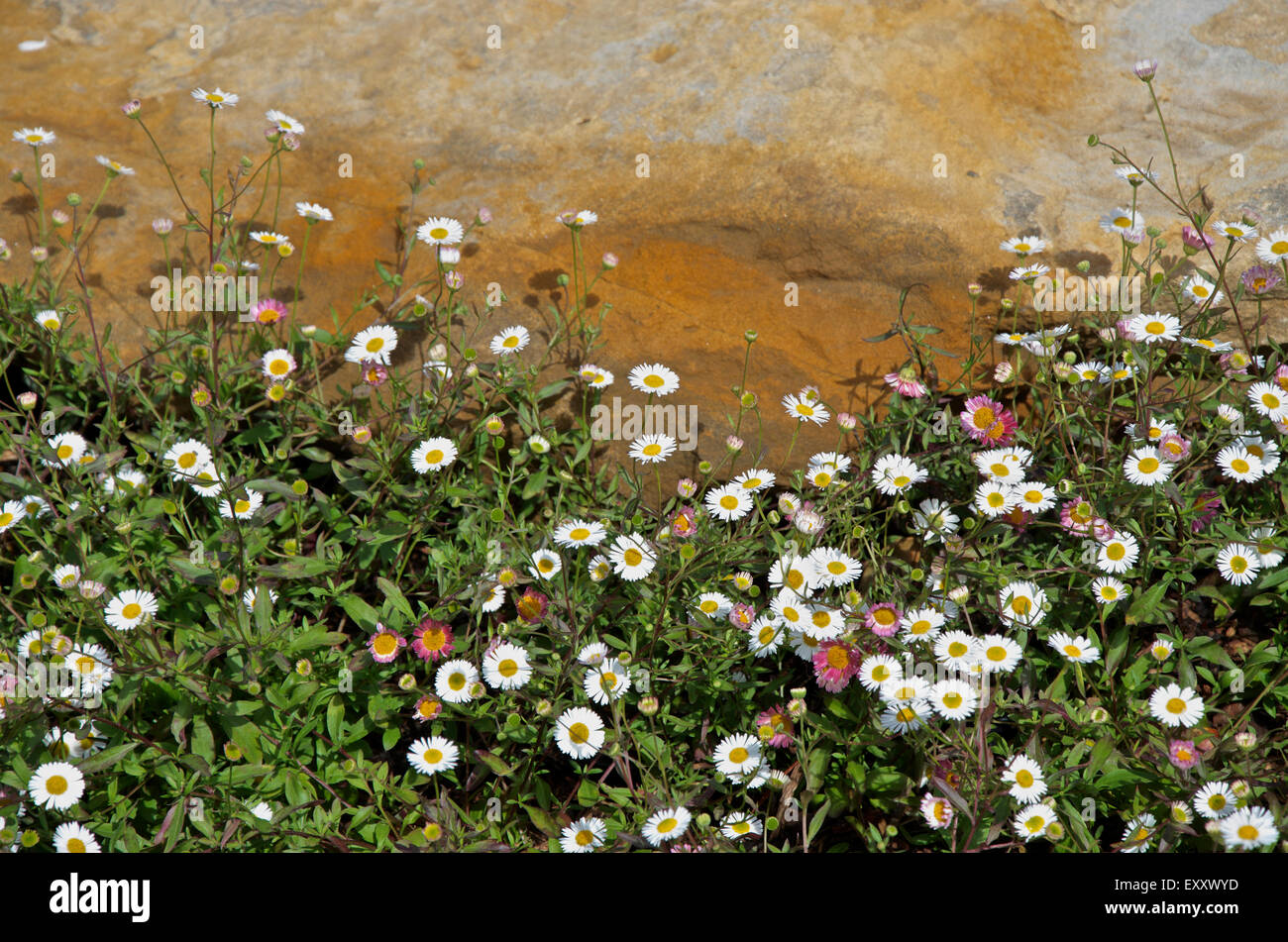 The small daisy like flowers of mexican fleabane or erigeron stock the small daisy like flowers of mexican fleabane or erigeron karvinskianus growing against a sandstone rock izmirmasajfo Images