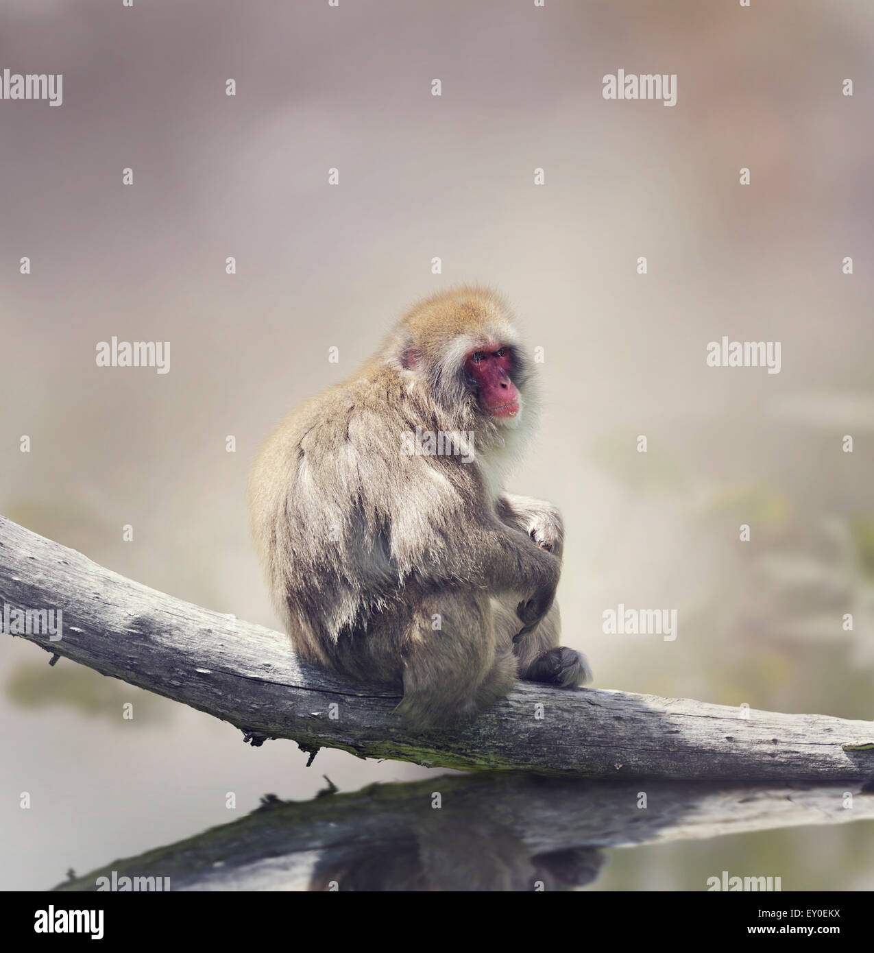 Japanese Macaque On A Log - Stock Image
