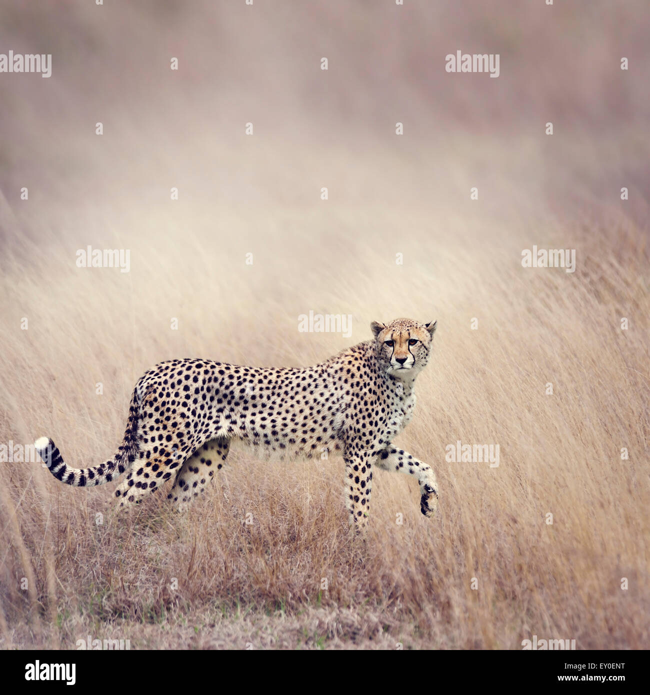 Cheetah Stalking Through The  Grassland - Stock Image