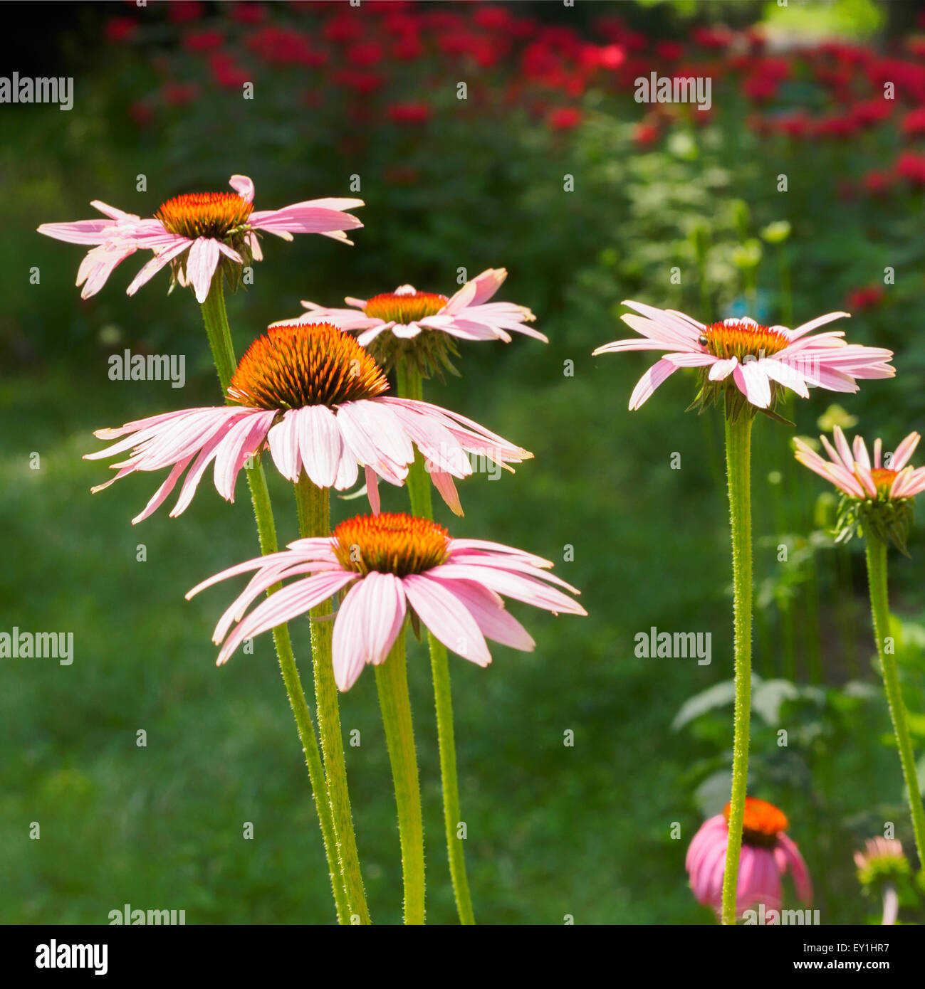 coneflowers-echinacea-on-a-summer-day-in-an-ohio-garden-square-format-EY1HR7.jpg