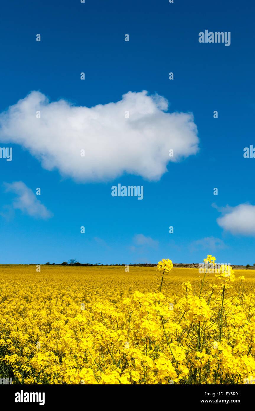 Turnip field in bloom - Stock Image