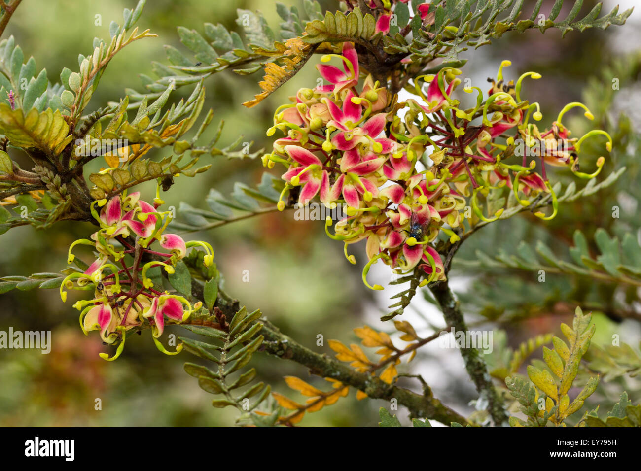 summer-flowers-of-the-large-evergreen-half-hardy-shrub-lomatia-ferruginea-EY795H.jpg