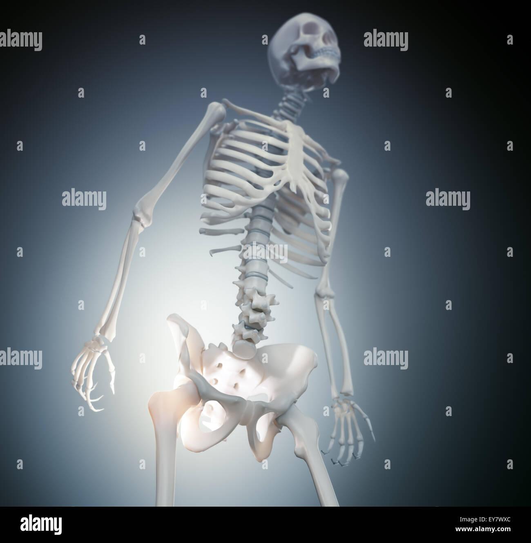Human Skeleton Hip And Stock Photo 85611188 Alamy