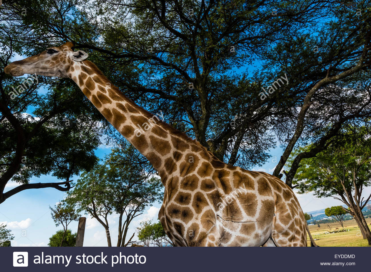 Giraffe, Lion Park, near Johannesburg, South Africa. - Stock Image