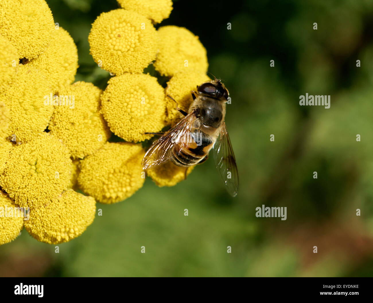drone-fly-eristalis-tenax-feeding-on-com