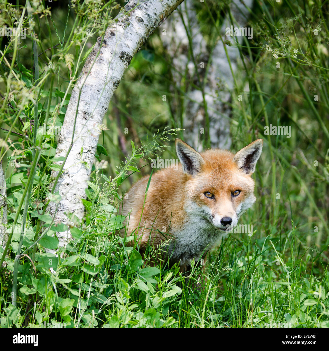 European Fox (Vulpes vulpes) sitting in field, UK. - Stock Image