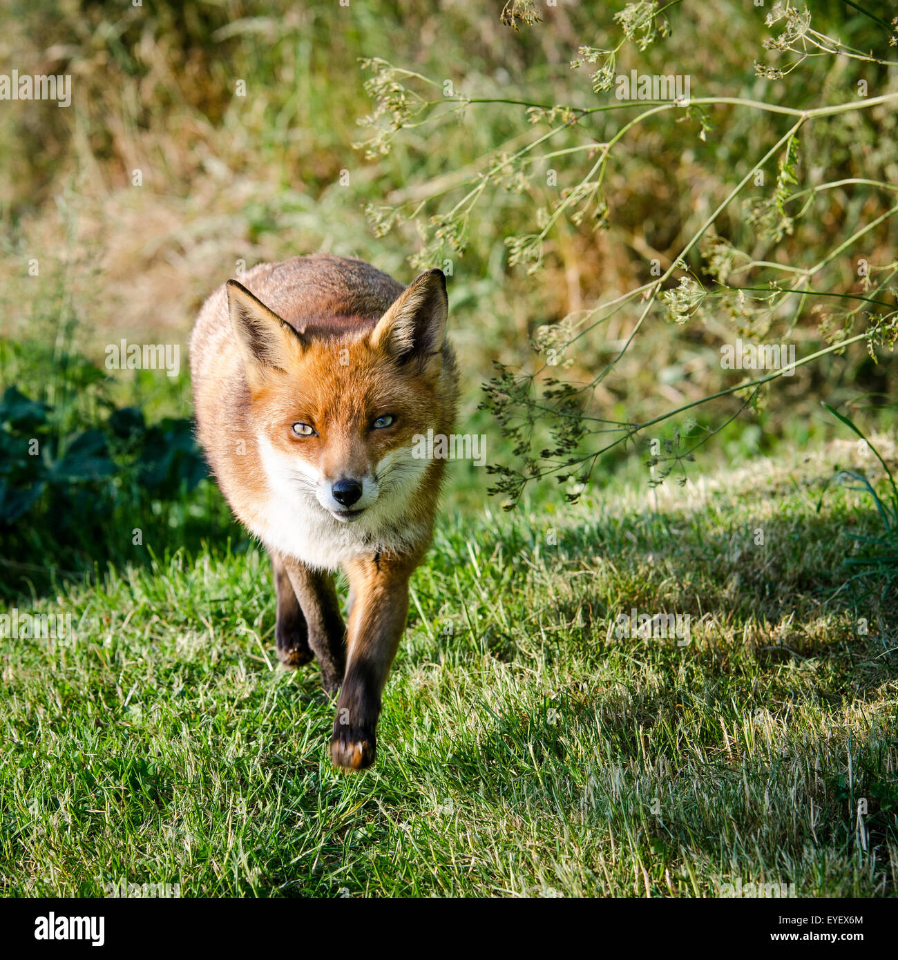 European Fox (Vulpes vulpes) walking through field, UK. - Stock Image