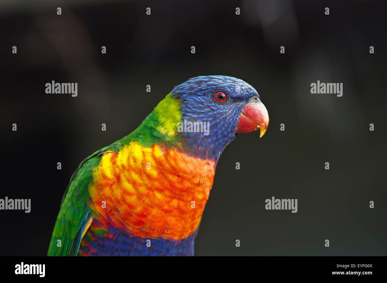 close-up-of-a-rainbow-lorikeet-trichoglossus-haematodus-EYFG0X.jpg