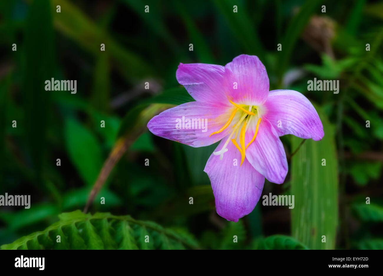 A wildflower of bright pink and yellow colors blooming in the Himalayan Hills of North Bengal with copy space - Stock Image