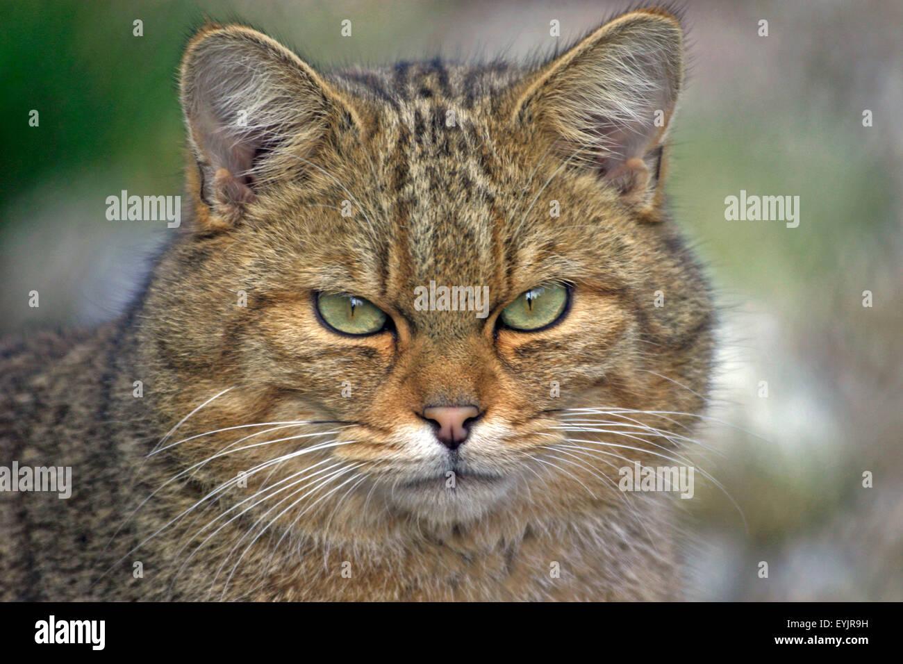 Europaeische Wildkatze,Portraet|European Wildcat portrait, closeup - Stock Image