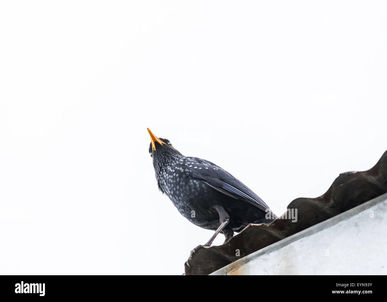 Medium sized bird Blue-whistling thrush with copy space - Stock Image