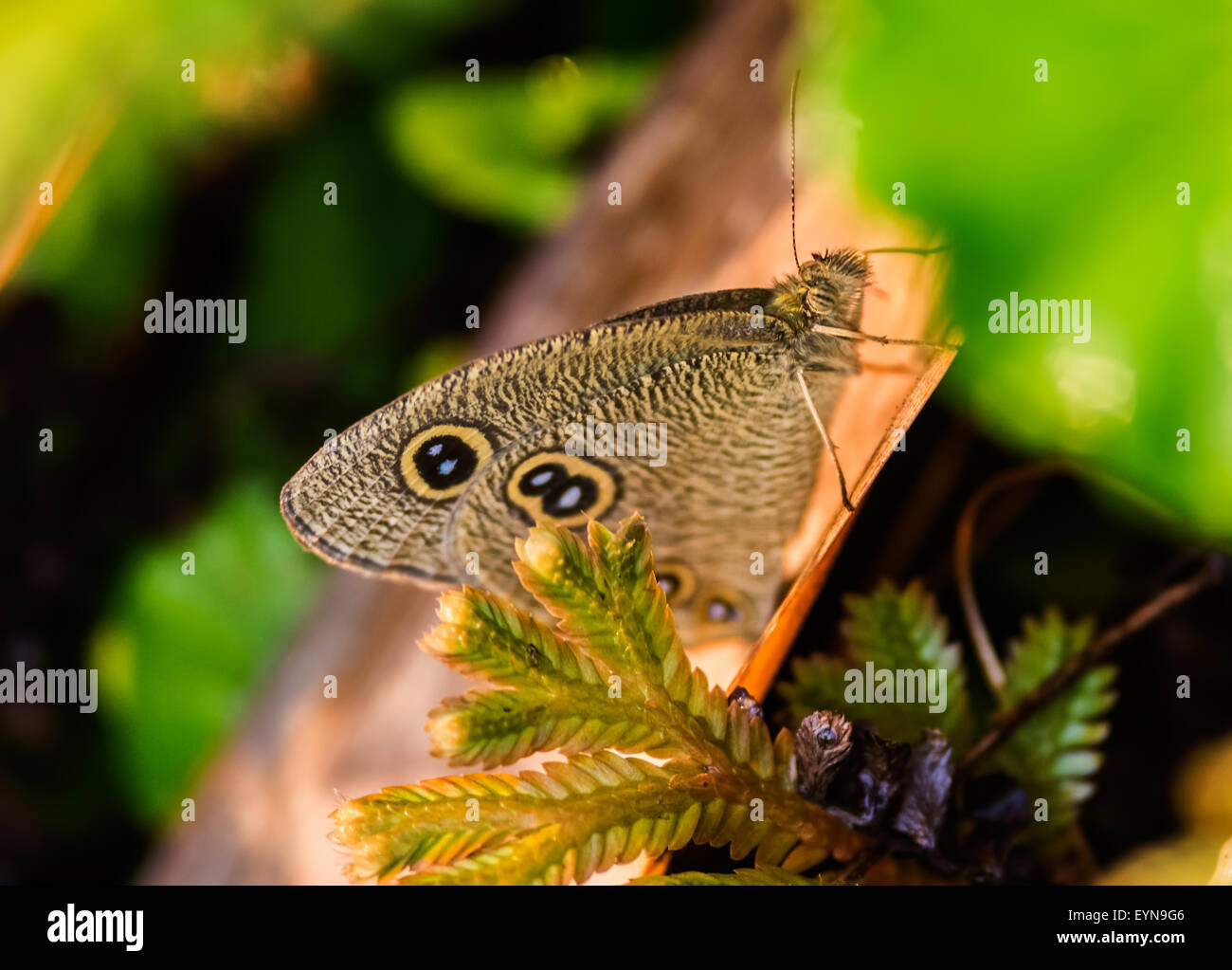 Small brown butterfly Common Fivering, Ypthima balduson grass during morning with copy space - Stock Image
