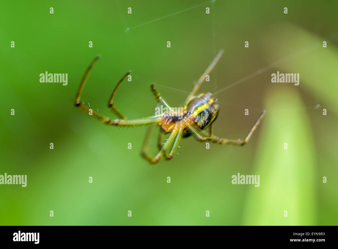 Extreme close up of Spider Leucauge sp on it's web - Stock Image
