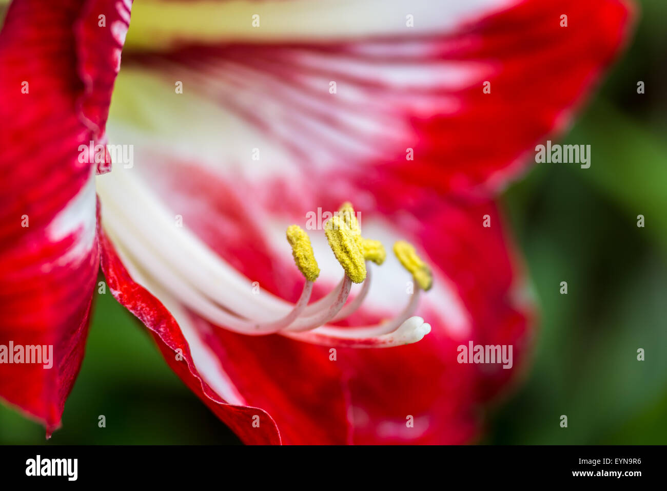 Vibrant Red blooming wildflower of Himalayan mountain, close up of petals, stamen and anther with copy space - Stock Image