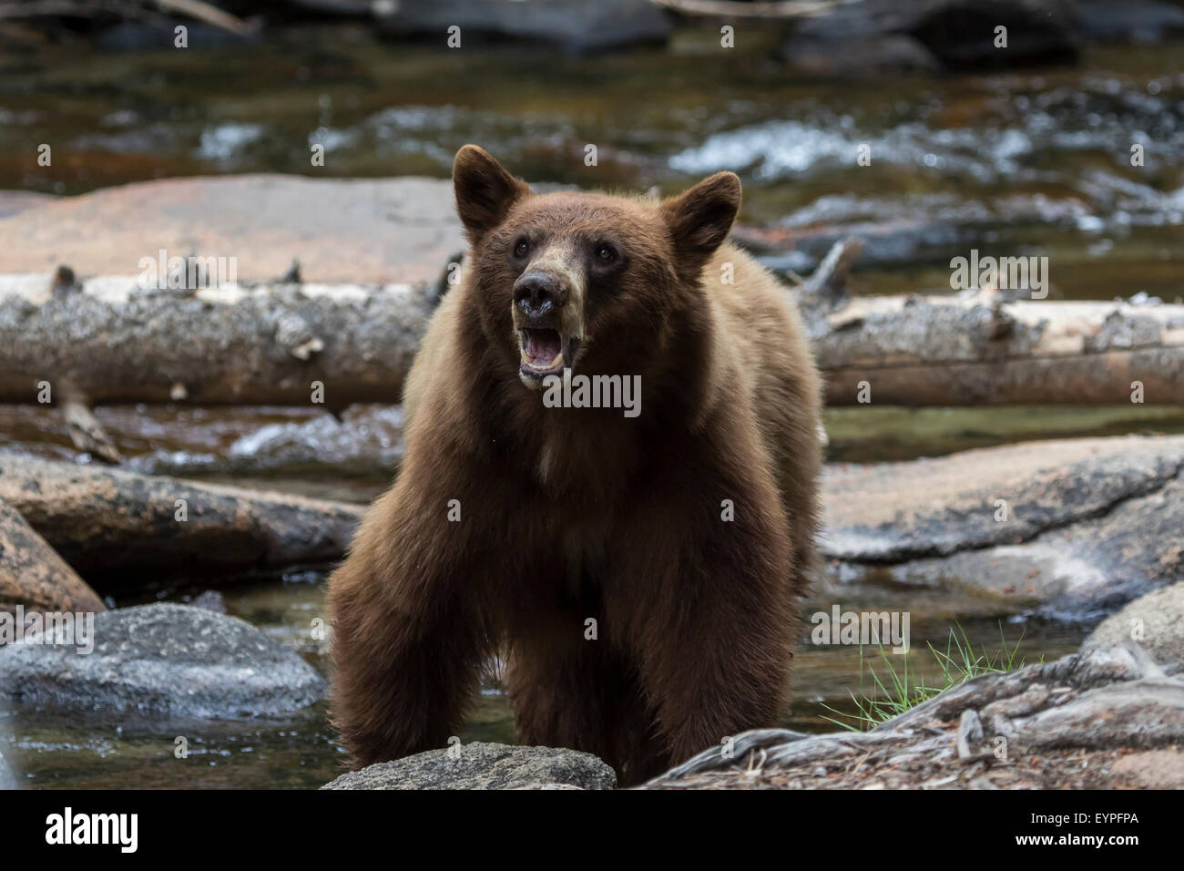 wild-californian-black-bear-although-a-b