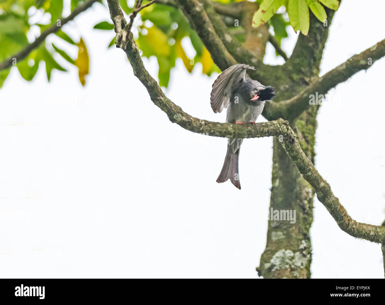 Bird, Himalayan Black Bulbul perched on a tree with copy space - Stock Image