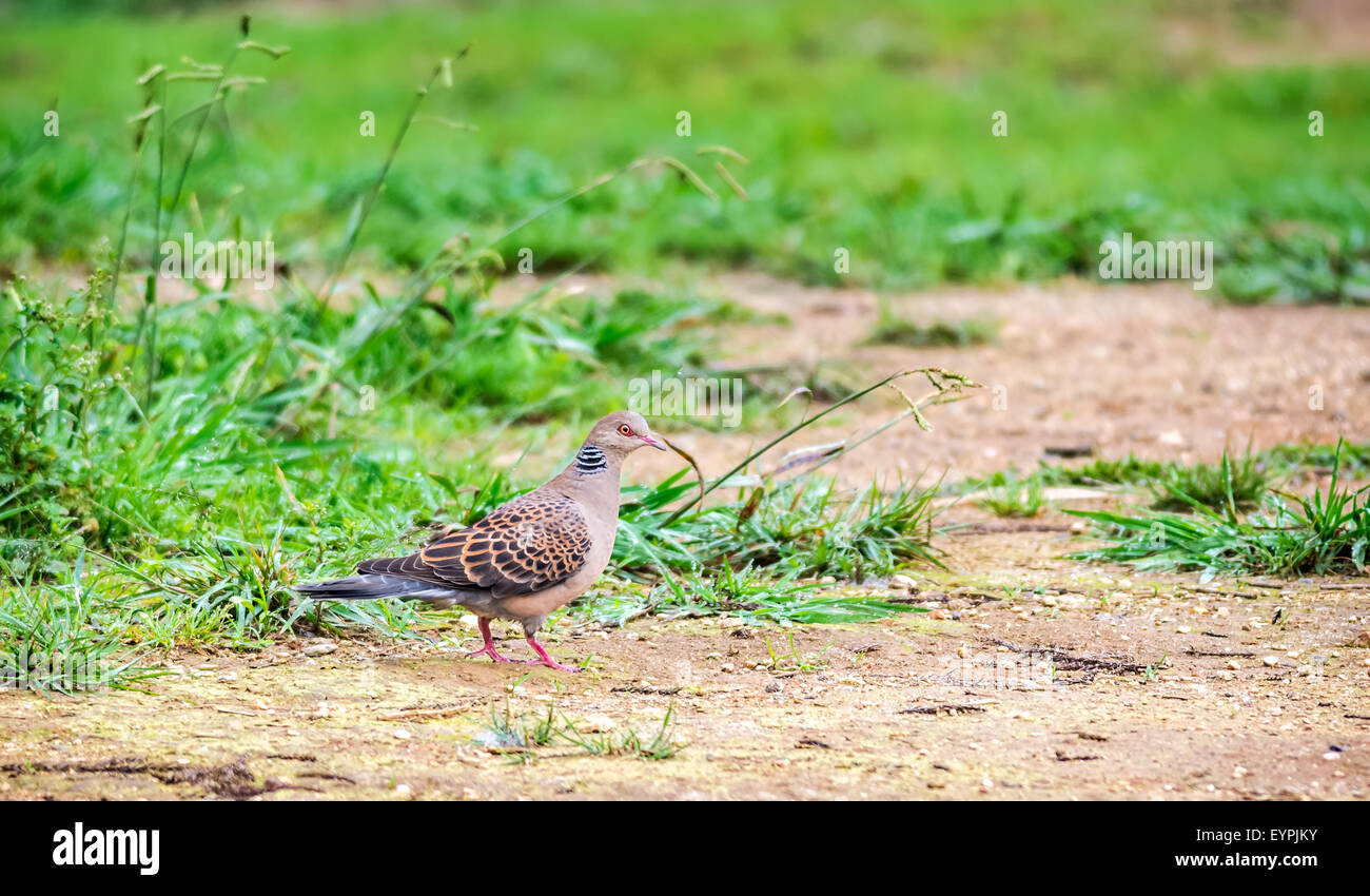 Bird, Oriental Turtle Dove, Streptopelia orientalis with copy space - Stock Image