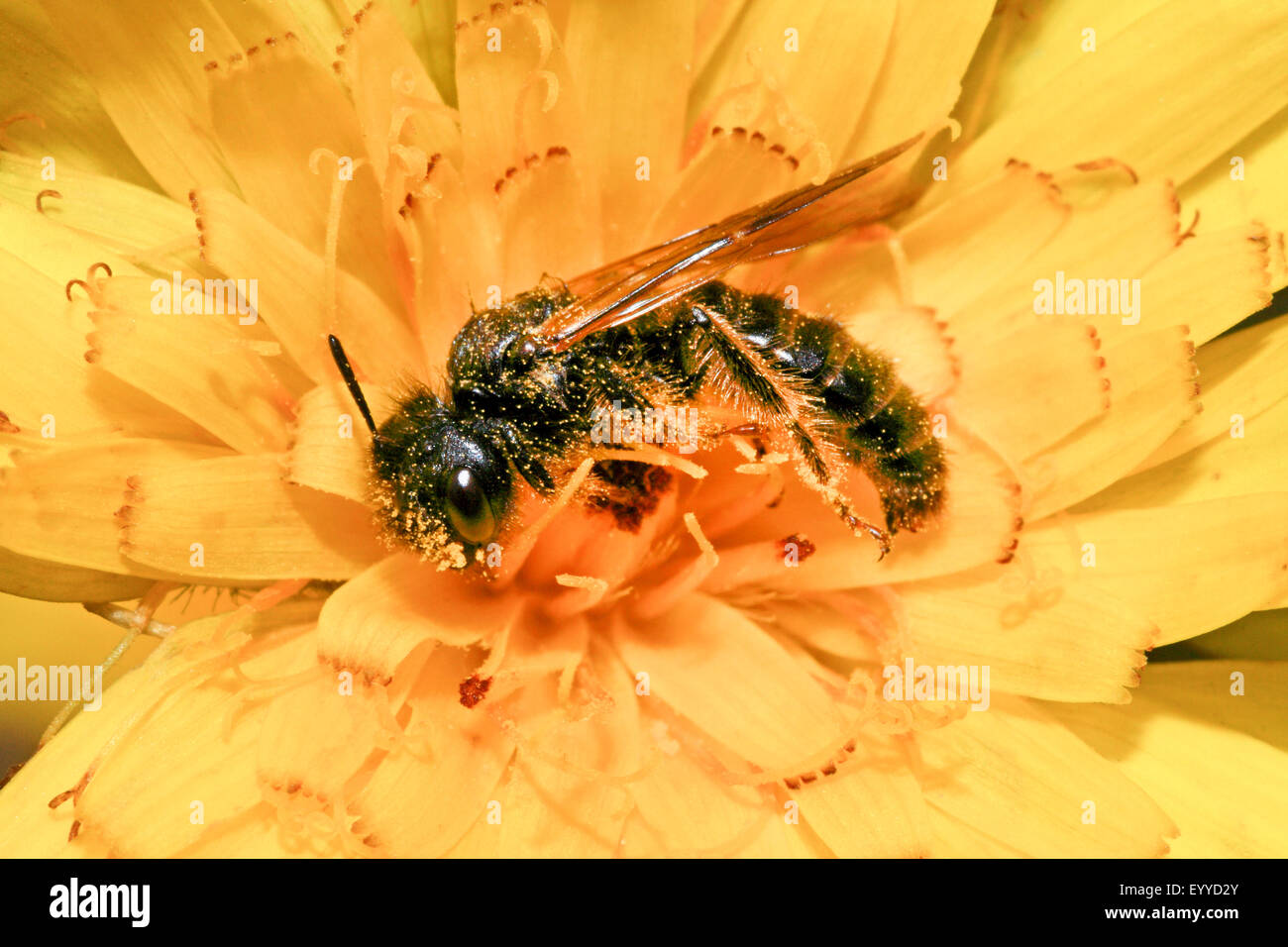 Hairy Panurgus (Panurgus banksianus, Panurgus banksiana), collects pollen in a flower, Germany Stock Photo