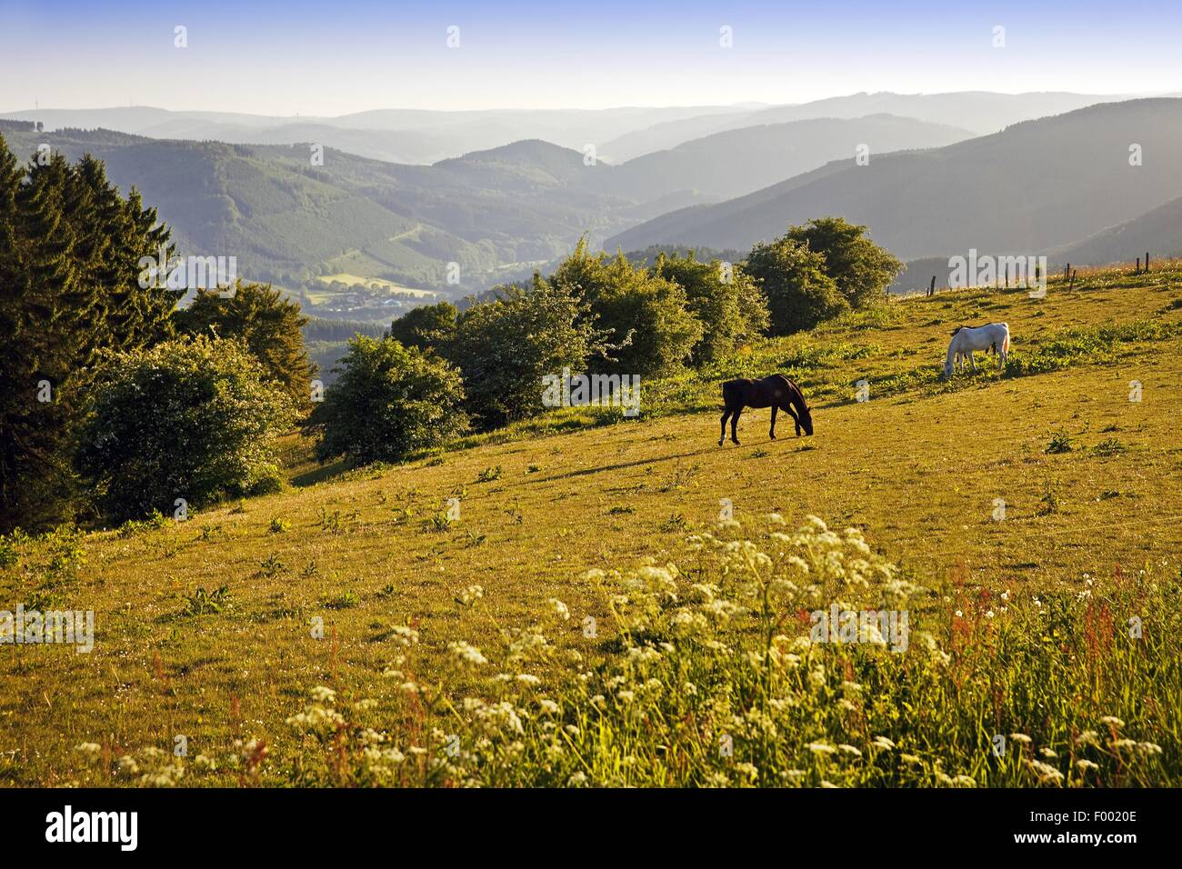 domestic horse (Equus przewalskii f. caballus), lookout over the landscape with two grazing horses near Wildewiese, - Stock Image