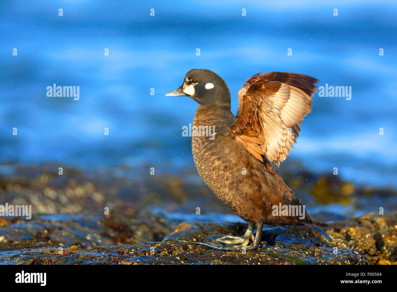 harlequin duck (Histrionicus histrionicus), female stands on a rock at the sea flapping wings, Canada, Vancouver - Stock Image