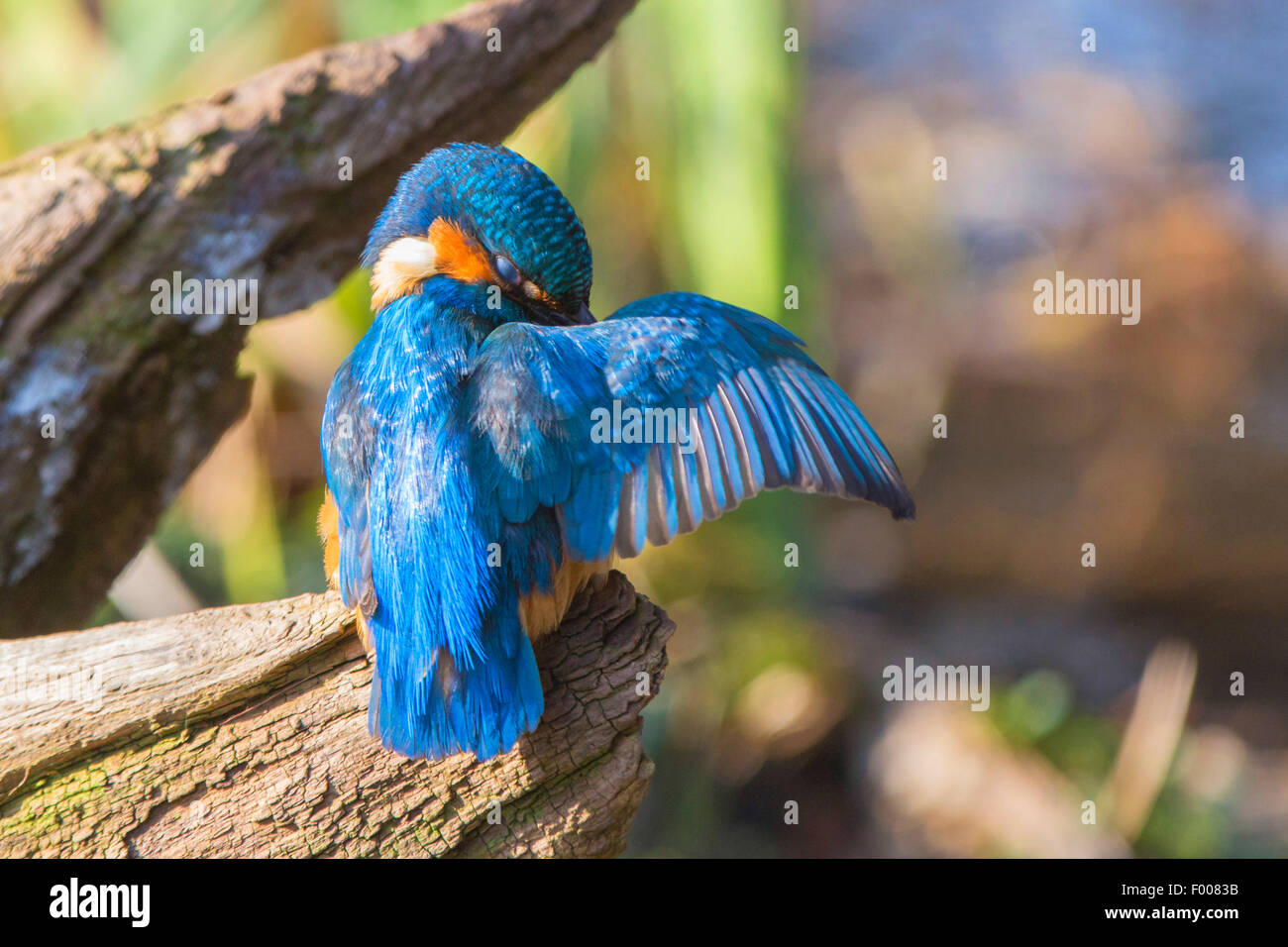 river kingfisher (Alcedo atthis), caring of the plumage, Germany, Bavaria, Isental - Stock Image