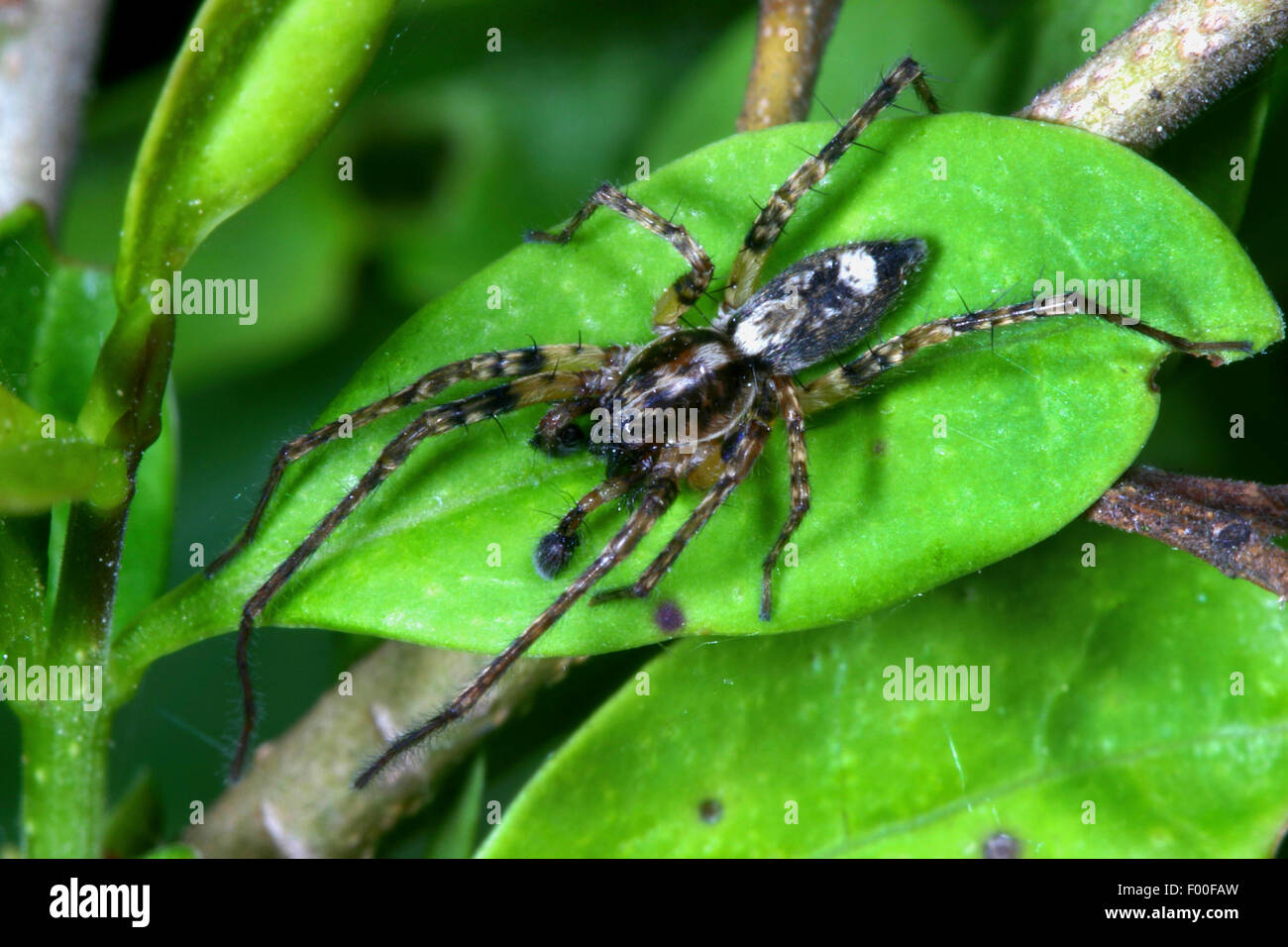 buzzing spider (Anyphaena accentuata), male, spider of the year 2015, Germany - Stock Image