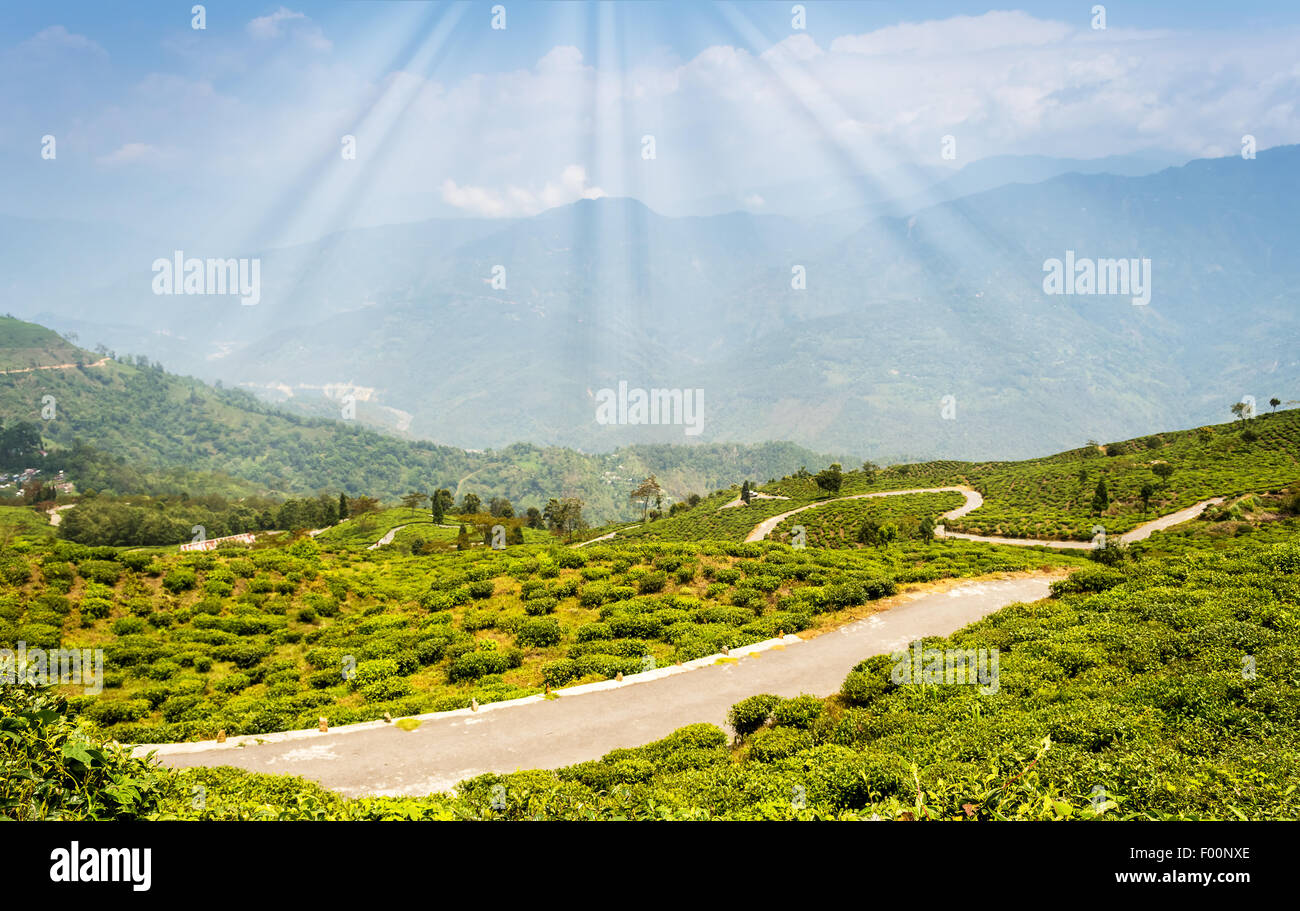 Tea garden of Darjeeling with fog rolling by with copy space - Stock Image