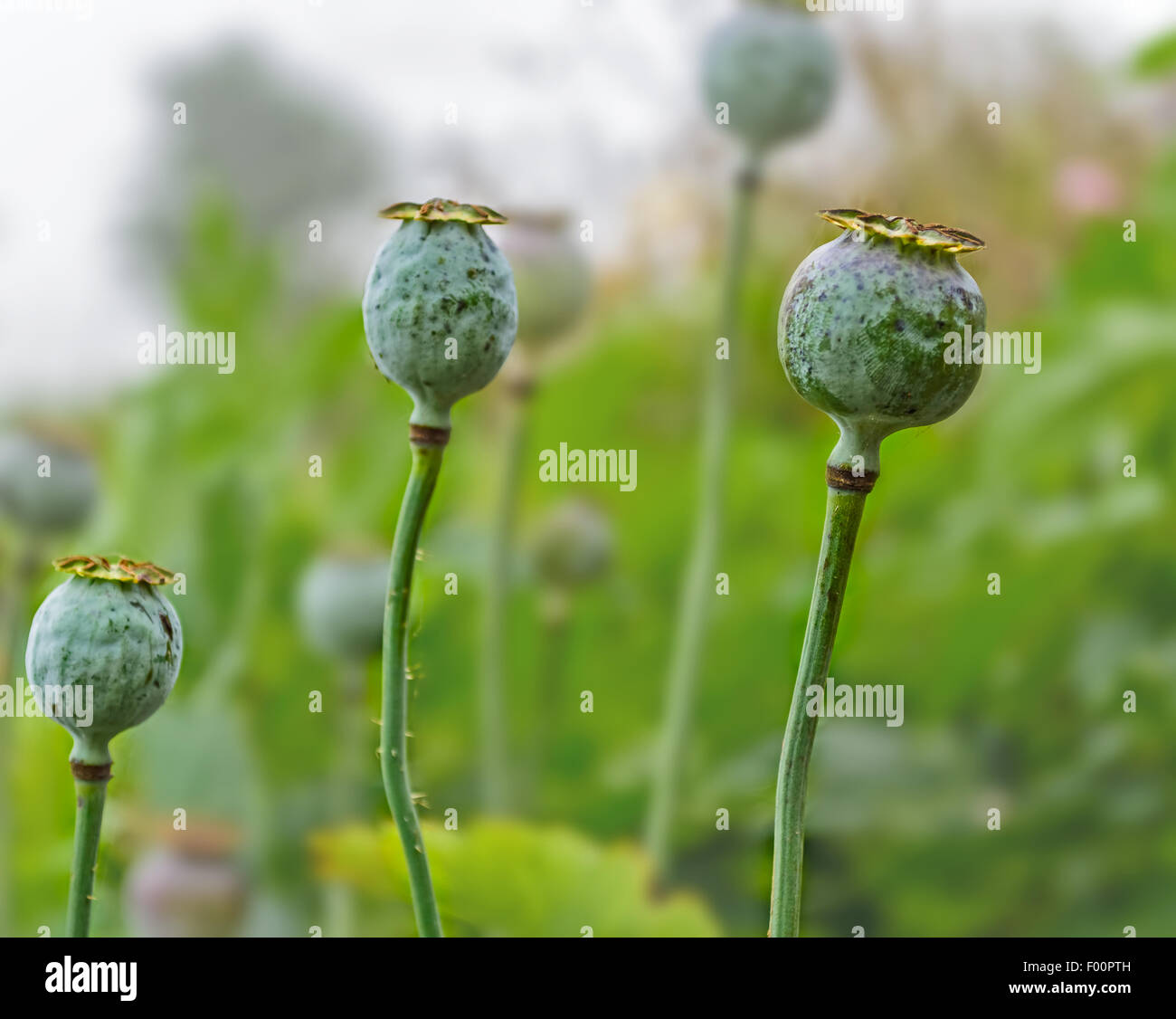 Bunch of Poppy flowers with fruit and stem with copy space - Stock Image