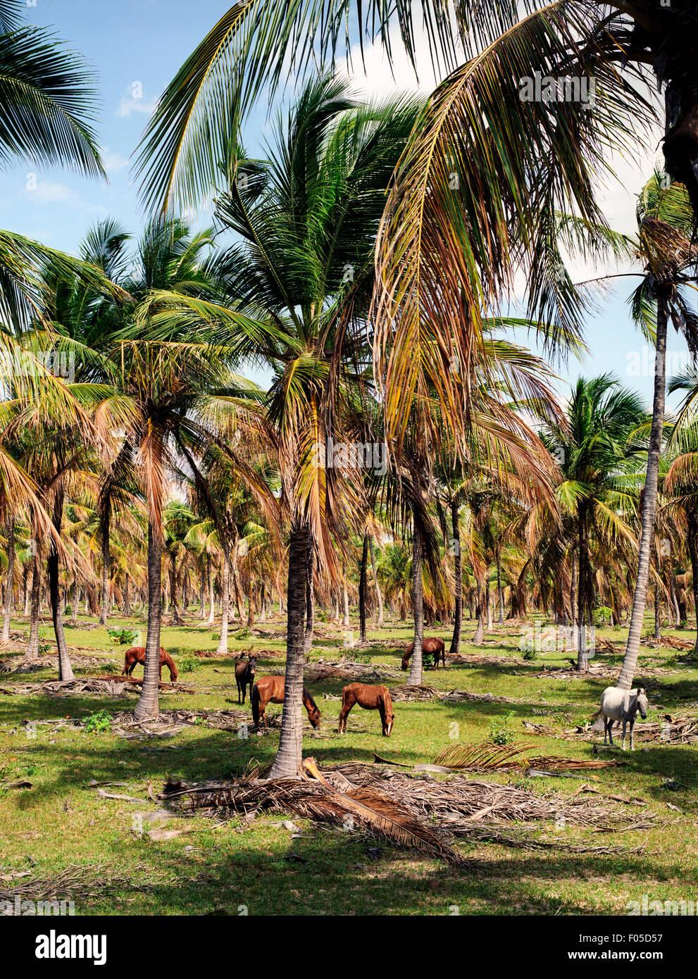 Horses graze in a field of palm trees, near Jericoacara Brazil Northern Brazil - Stock Image