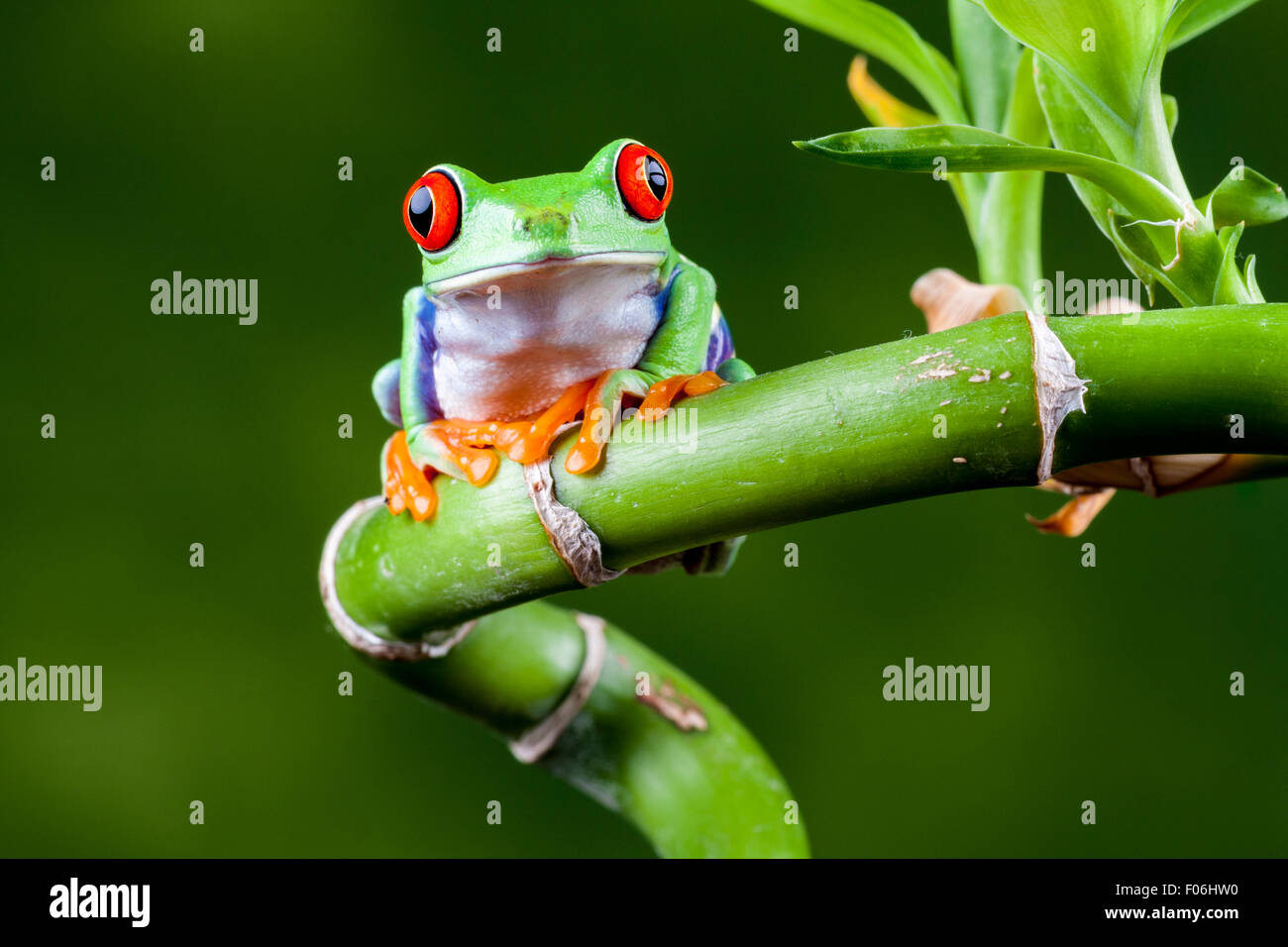 Red Eyed Tree Frog, Agalychnis callidryas, on 'Lucky' twisted bamboo plant. Stock Photo