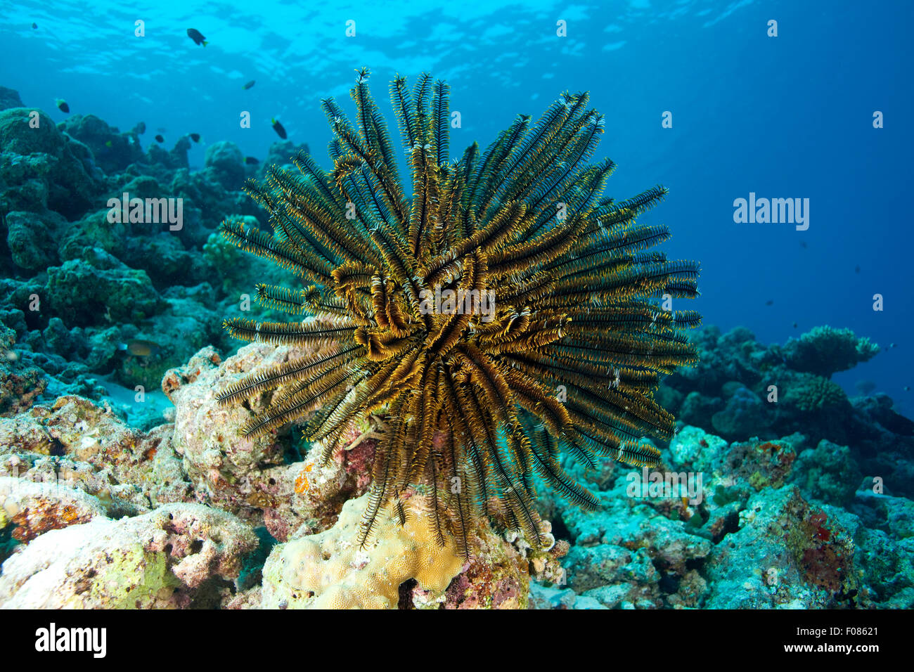 Featherstar on Coral Reef, Comanthina schlegeli, Ari Atoll, Maldives - Stock Image