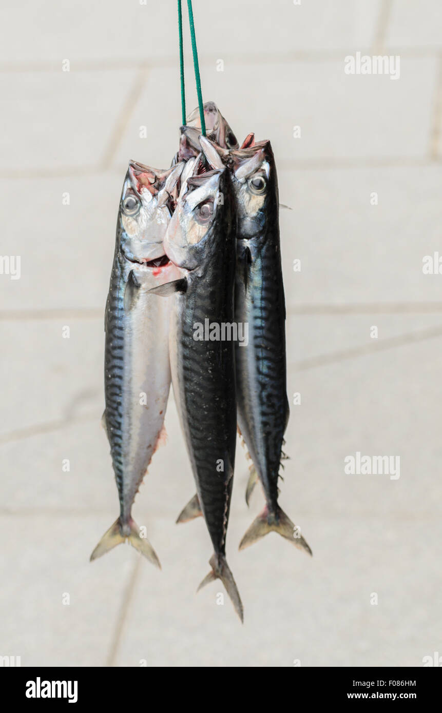 Mackerel hanging together whilst a fisherman tries to sell them to local restaurants in St Ives, Cornwall, U.K., - Stock Image