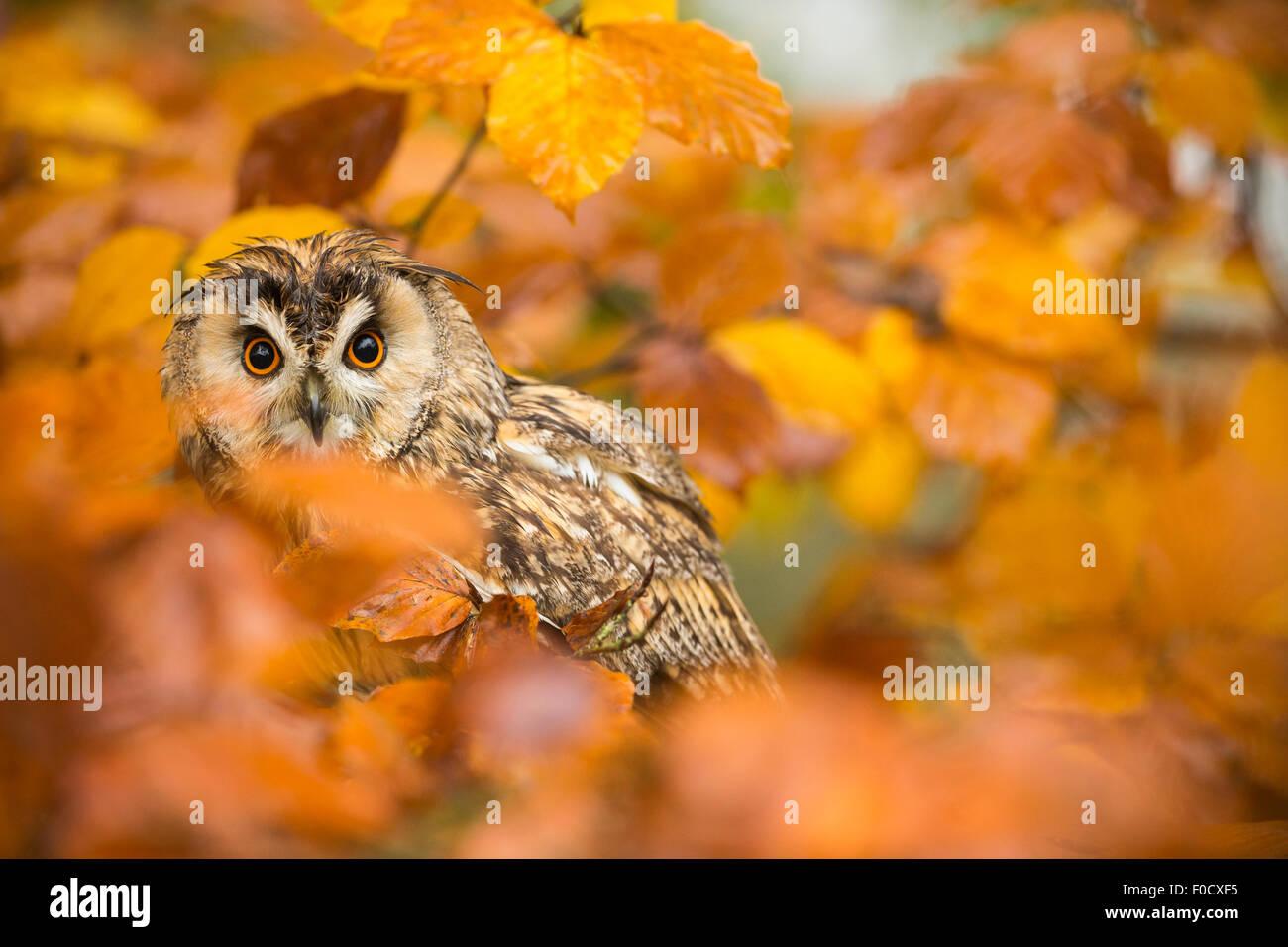 Long-eared owl Asio otus (captive), adult male, in beech Fagus sylvatica, Hawk Conservancy Trust, Hampshire, UK Stock Photo