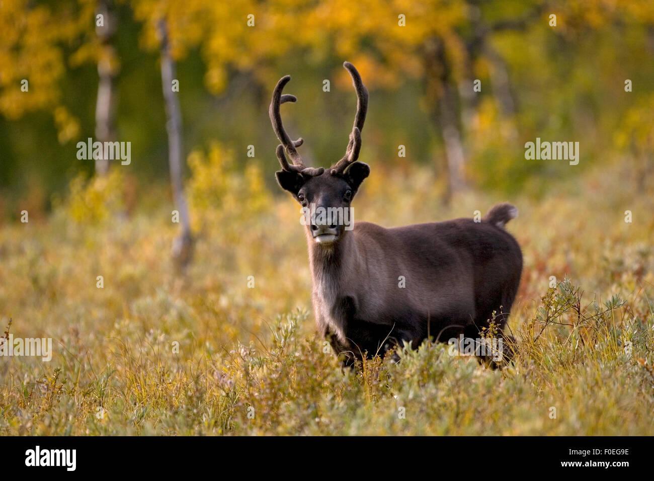 Reindeer (Rangifer tarandus) semi-domesticated, small scale herding by local Sami, Sarek National Park, Laponia - Stock Image