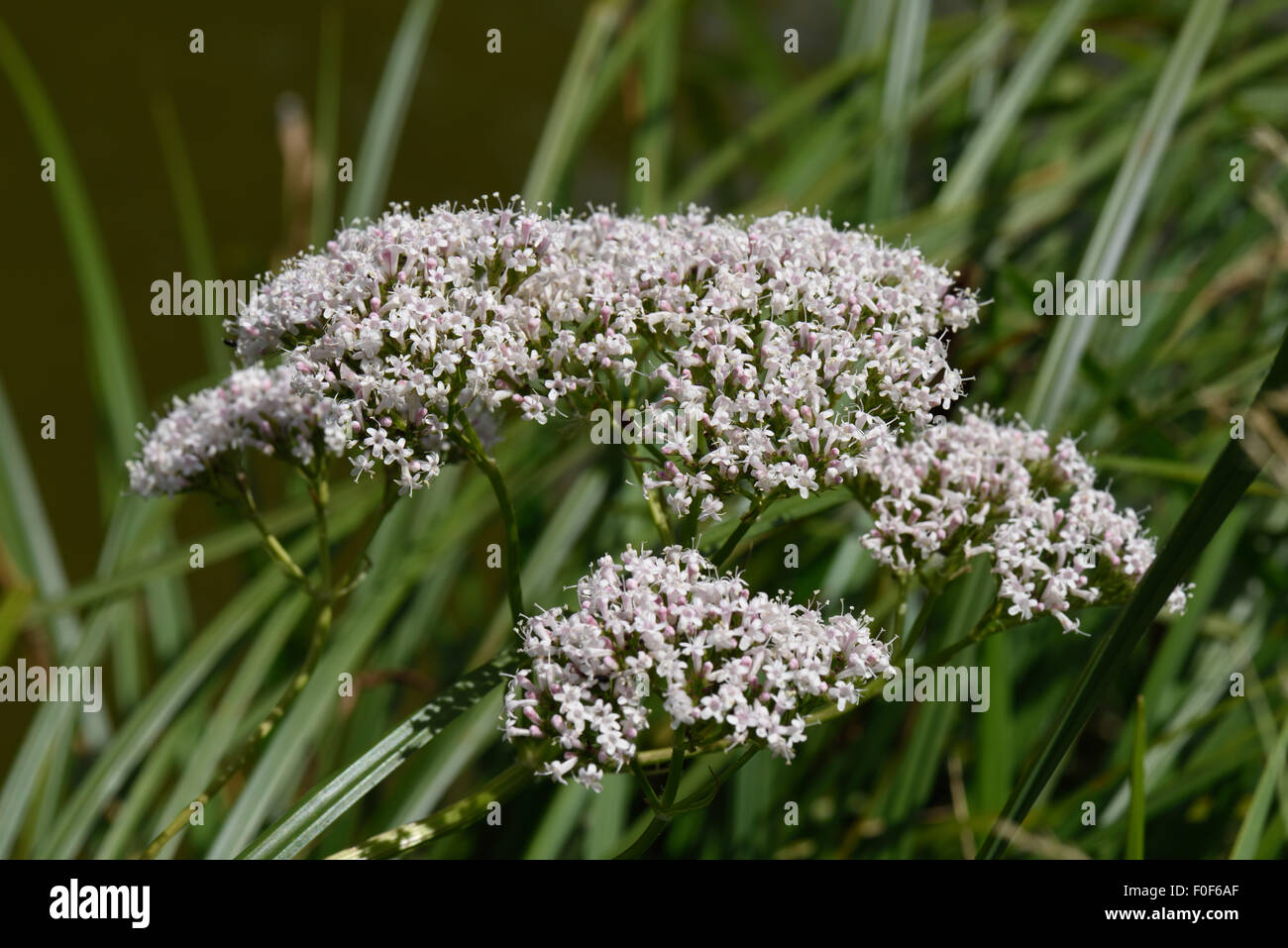 Common valerian, Valeriana officinalis, flowering beside the Kennet & Avon Canal, Berkshire, July - Stock Image
