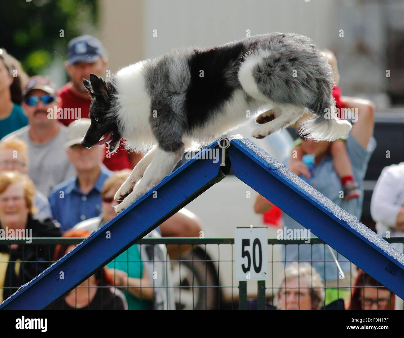 A dog walks over an A-frame at the Agility Association of Canada\'s ...