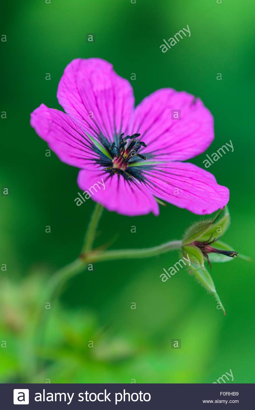 Geranium pstilostemon 'Bressingham Flair'. Stock Photo