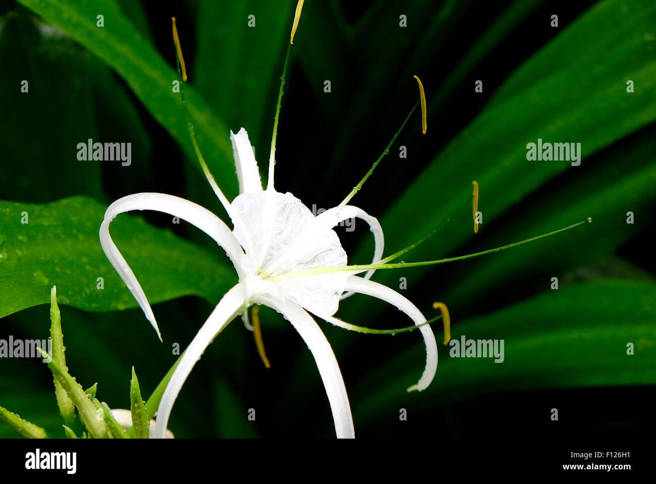 White spider lily flower growing in garden stock photo 86715581 alamy white spider lily flower growing in garden izmirmasajfo Image collections