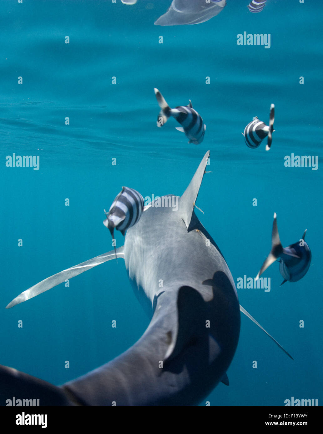 Blue shark (Prionace glauca), rear view with Pilot fish (Naucrates ductor) Cape Point, South Africa - Stock Image