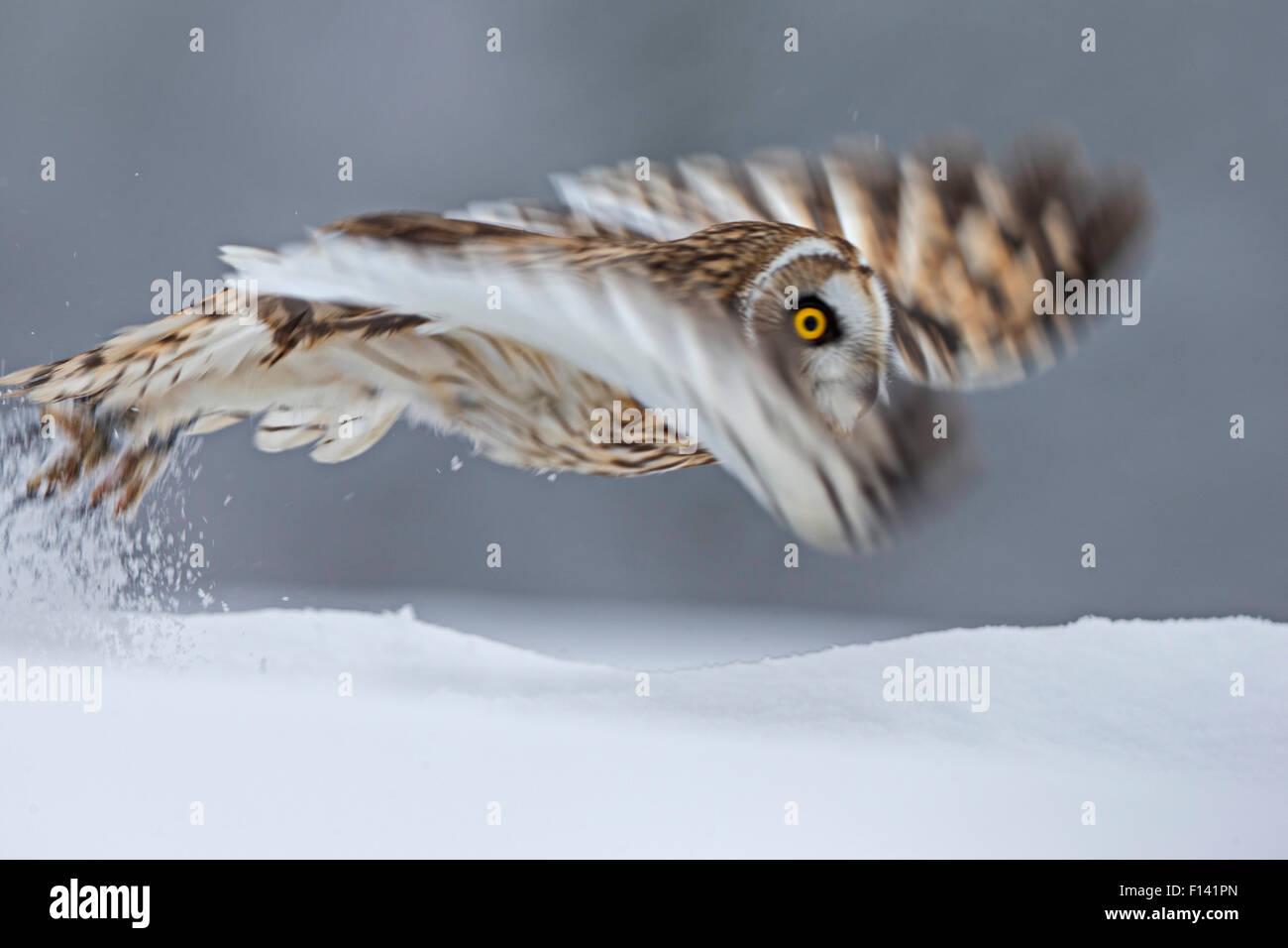Short Eared Owl (Asio flammeus) taking off, blurred motion photograph, UK, January. Captive - Stock Image