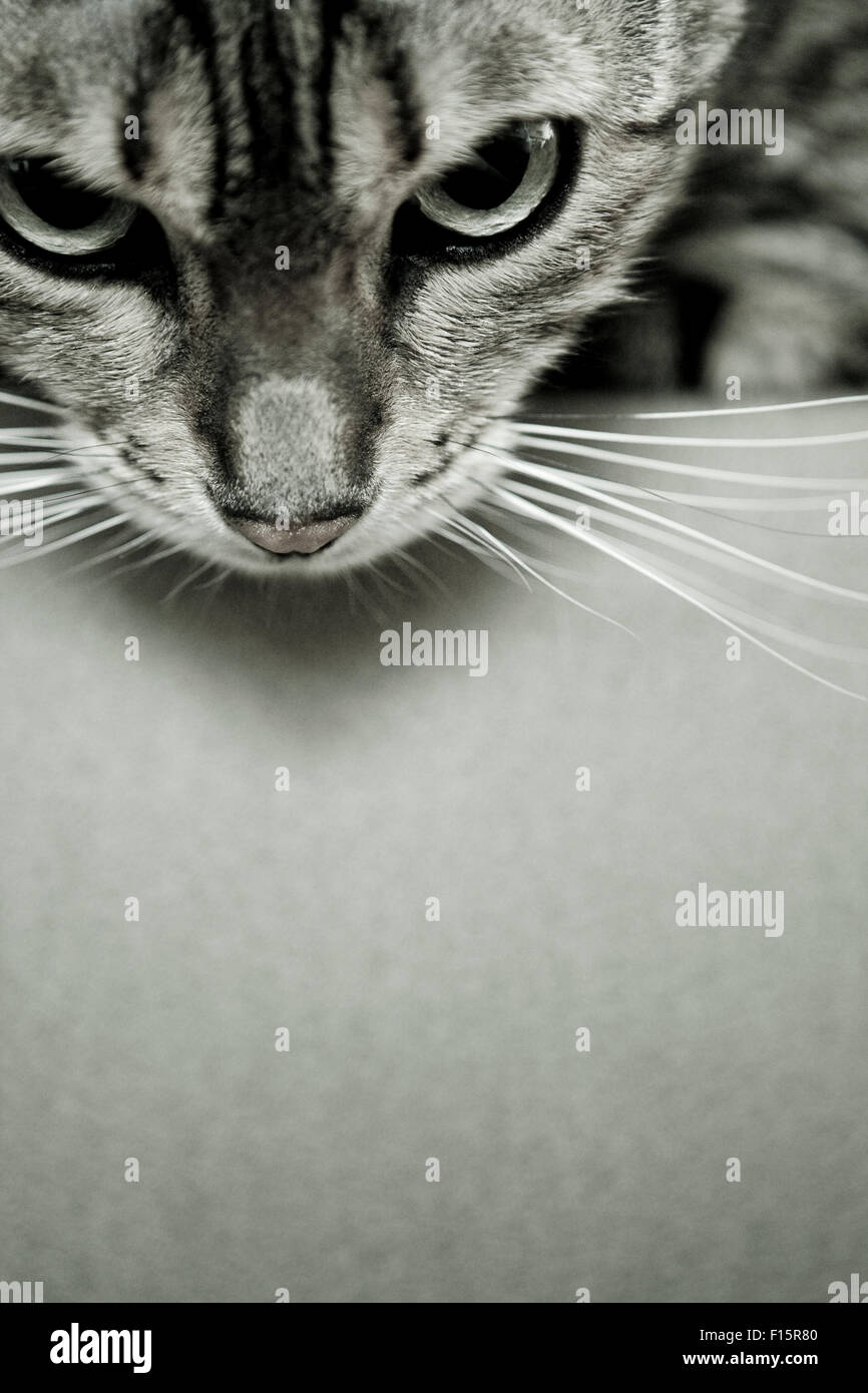 Close up portrait of Spotted Savannah Cat looking down over the edge of surface - Stock Image