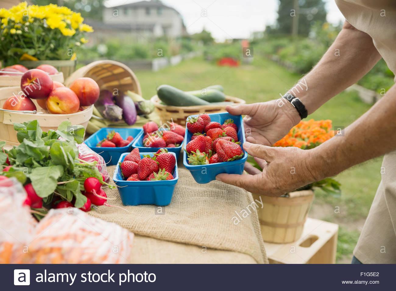 Farmer checking fresh strawberries at farmers market stall - Stock Image