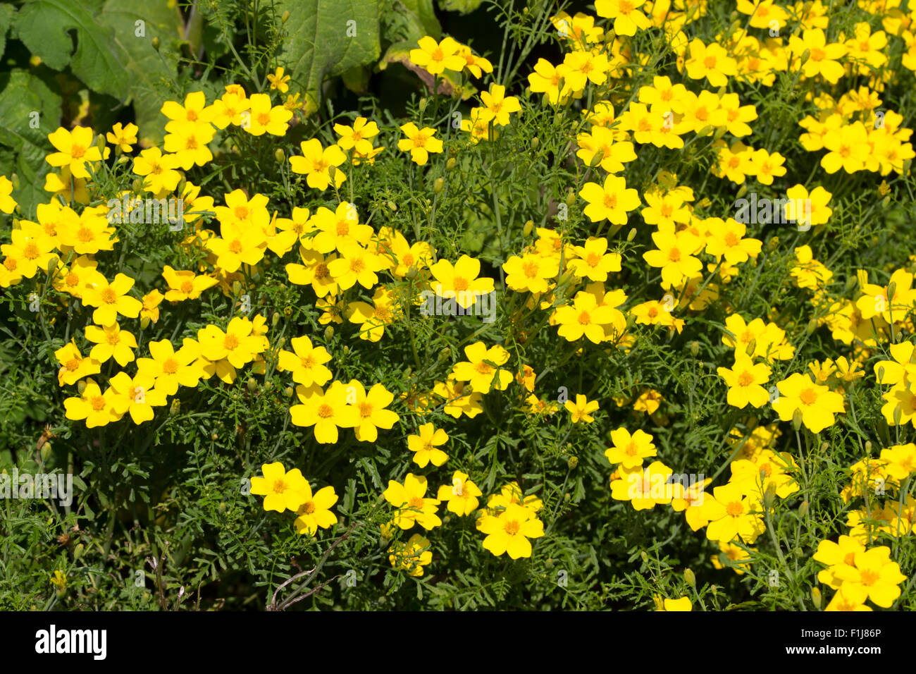 Golden centred yellow flowers of the half hardy perennial bidens golden centred yellow flowers of the half hardy perennial bidens aurea often used as summer bedding mightylinksfo Image collections