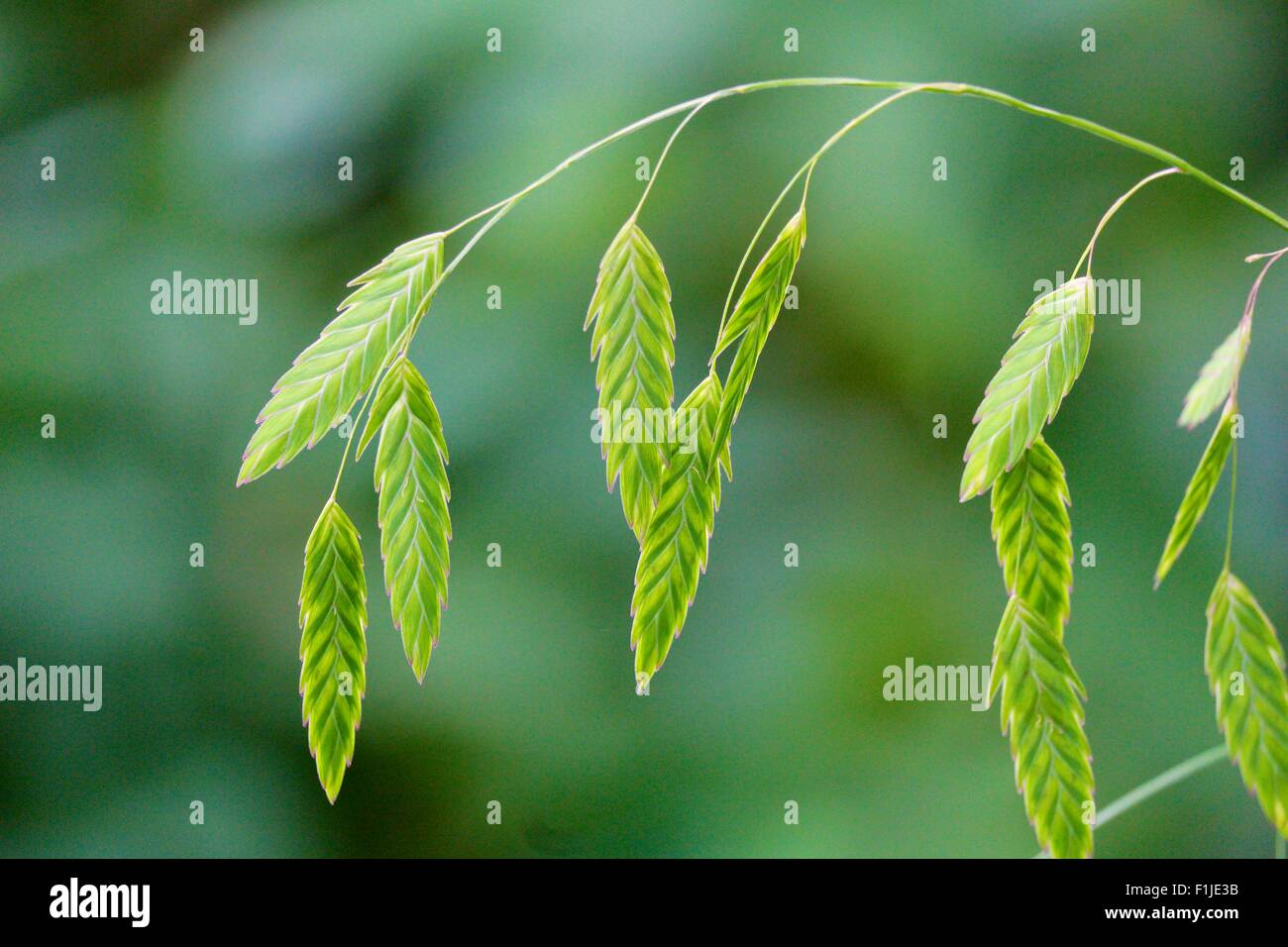 northern-sea-oats-chasmanthium-latifoliu