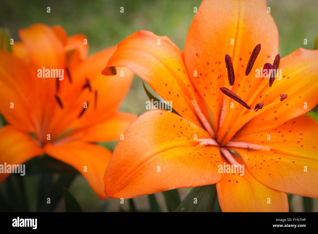 Tiger Lily, Lilium bulbiferum with narrow focal plane, focus on stamen. Stock Photo