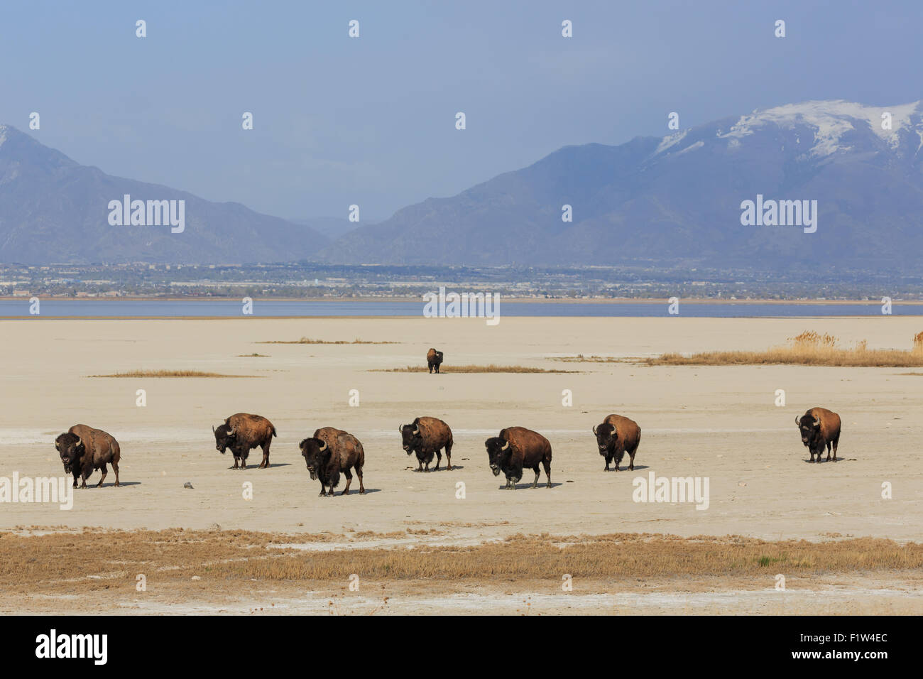 Herd of Buffalo roam the salt flats at the Great Salt Lake with snowcapped mountains in the background - Stock Image