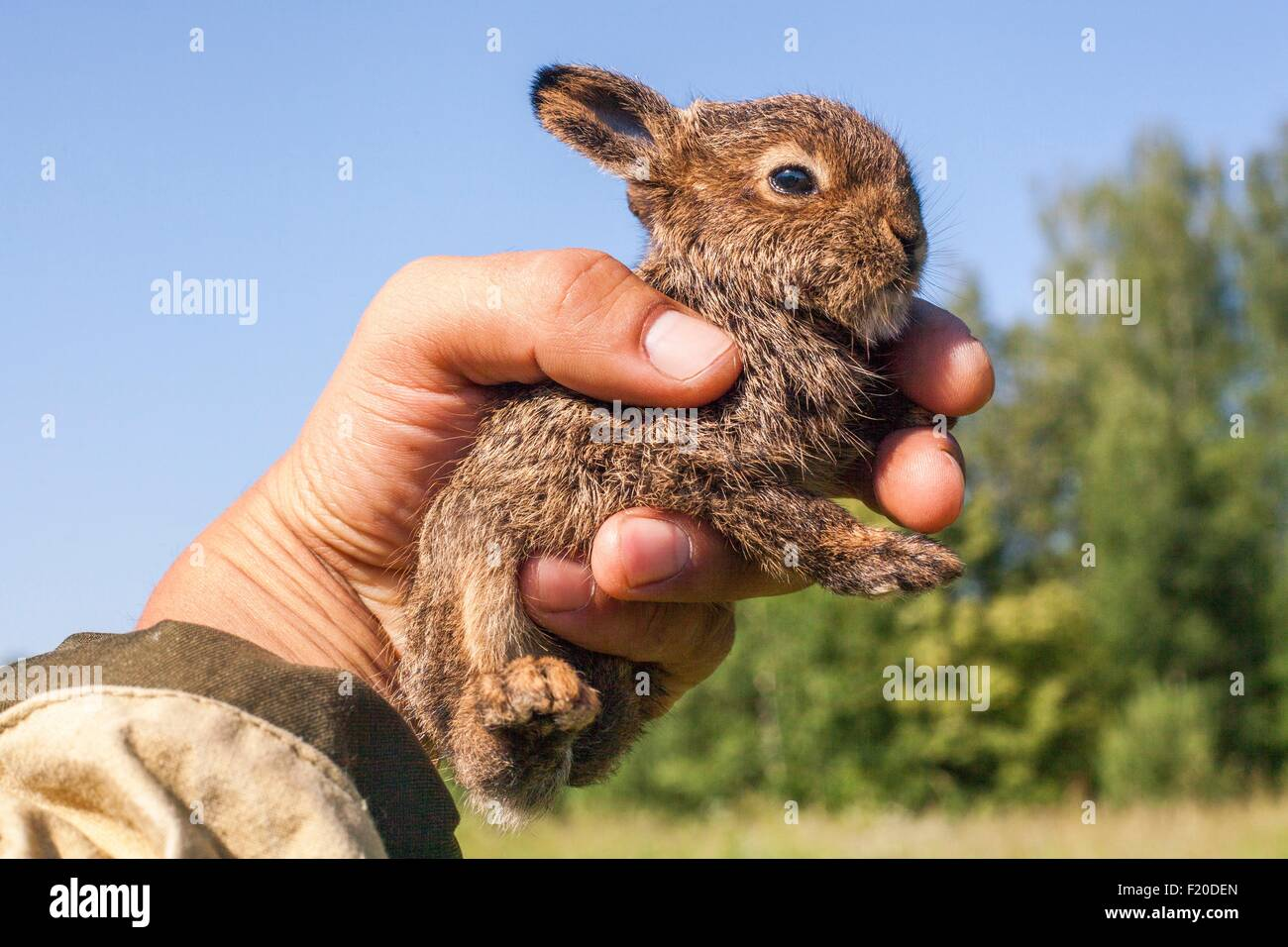 Close up of male hand holding up tiny juvenile rabbit - Stock Image