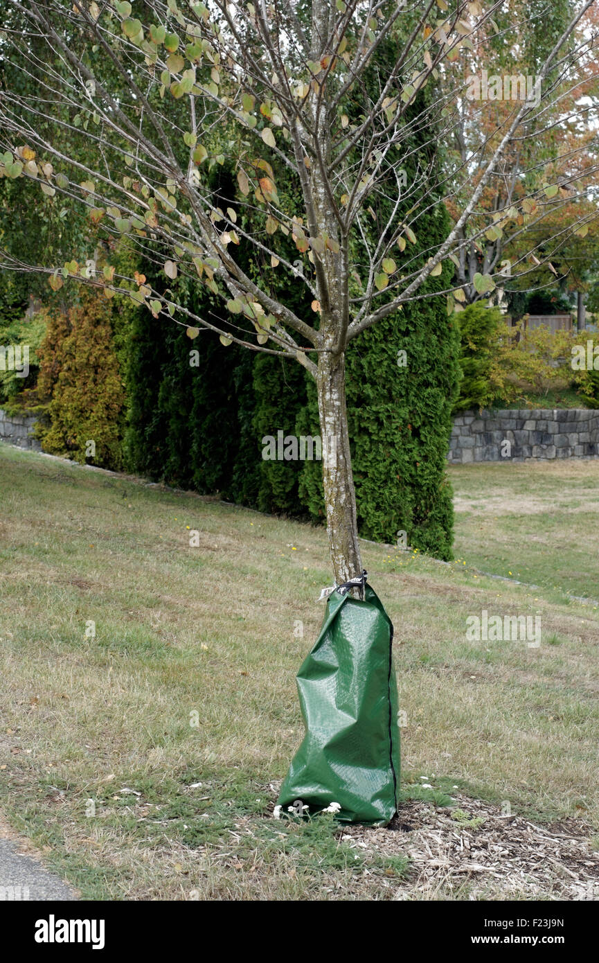 dry-young-tree-with-slow-release-waterin