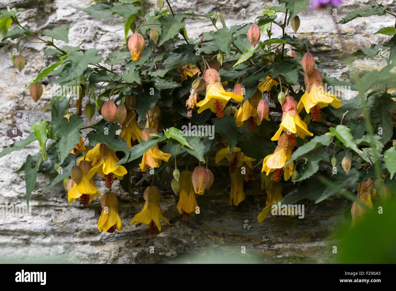 Grown as a wall shrub abutilon victory dangles bell shaped yellow grown as a wall shrub abutilon victory dangles bell shaped yellow flowers through the warmer months mightylinksfo