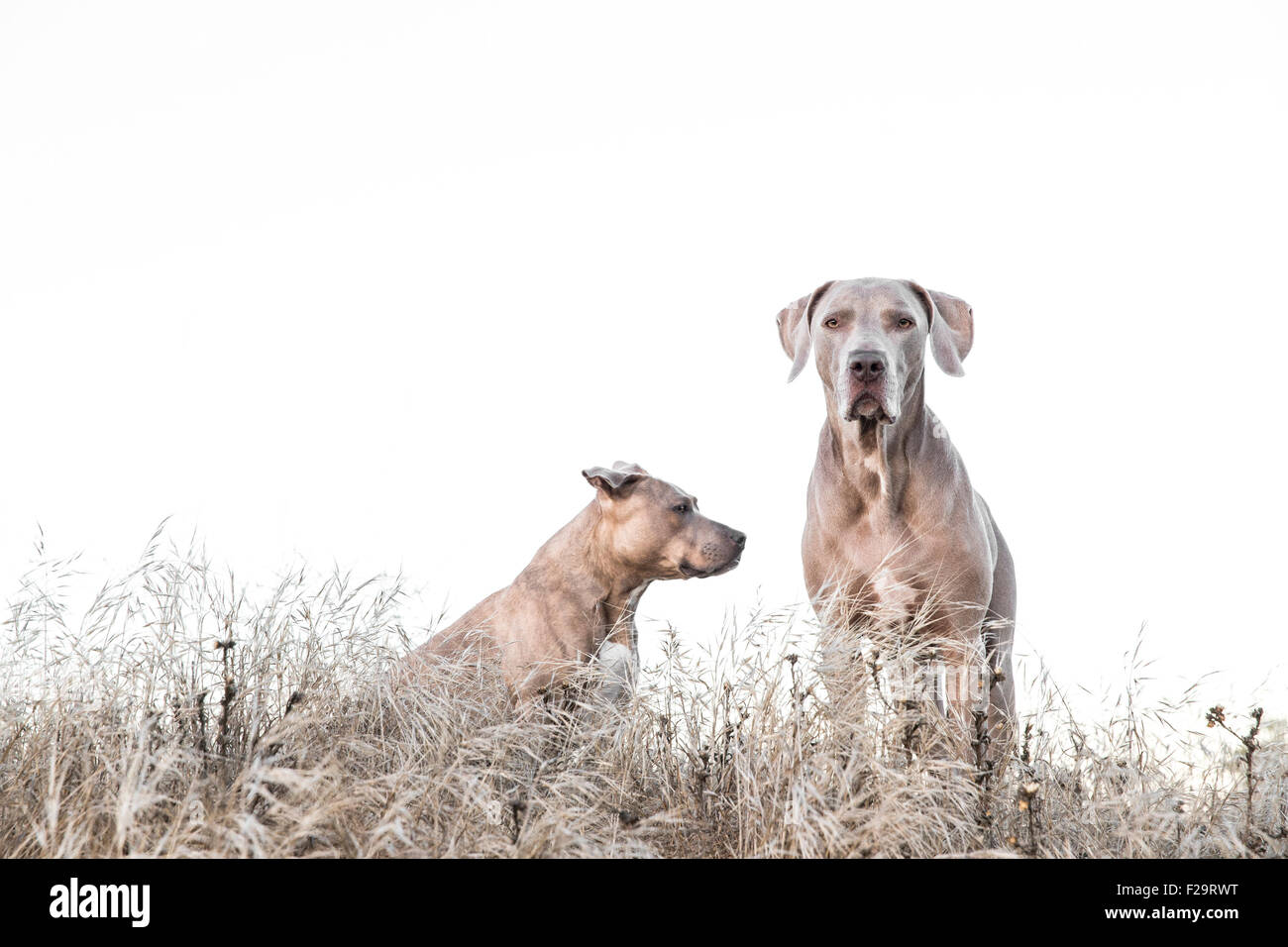 Weimaraner and Pitbull standing amid tall dry grass in field, one facing wrong way, negative space for copy - Stock Image